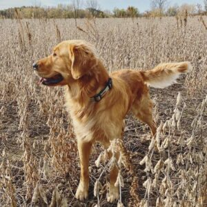 primarily a hunting dog